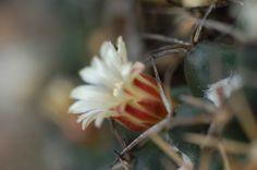 Flor de biznaga de chilito