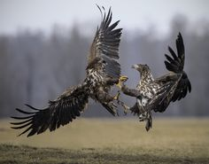 Fighting eagles photographed on a White Tailed Sea Eagle Winter Photography workshop Photography Tours, Photography Workshops, Winter Photography, White Tailed Eagle, Japanese Drawings, Different Birds, Bird Wings, Birds Of Prey, Amphibians