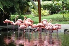 Flamingos at Sarasota Jungle Gardens. Read the blog article about our visit to Jungle Gardens on MustDo.com