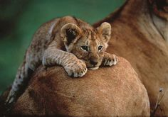 Precioso y tierno bebé león