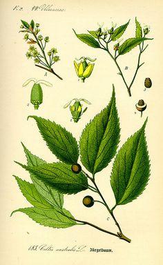 Bagolaro: Famiglia Ulmaceae Genere Celtis Specie C. australis