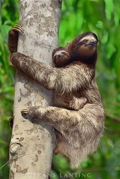 Frans Lanting - Brown throat three-toed sloth with young, Bradypus variegatus, Barro Colorado Island, Panama Baby Sloth, Cute Sloth, Mundo Animal, My Animal, Primates, Mammals, Cute Baby Animals, Animals And Pets, Beautiful Creatures