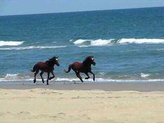 Wild Horses Running on Corolla Beach North Carolina .