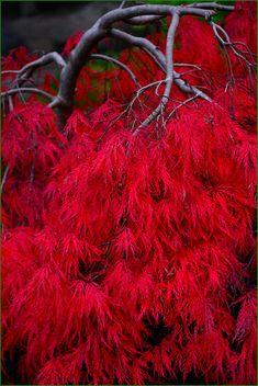 Curly Maple Fall Color - Yashiro Japanese Garden, Olympia, Washington