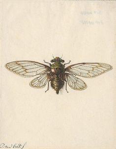 Vintage Cicada illustrations for tattoo