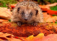 Prickly situation: There were 30million hedgehogs in the wild in the 1950s, but there are ...