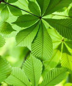 Aesculus hippocastanum [Horse Chestnut Trees]