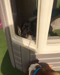 """""""Ruby playing house doggy daycare photos from today & yesterday 🐾🐶 Have a brilliant weekend everyone doggy daycare will be back open Monday morning at 7am for another week of fun 🐾  More photos to follow 📸  Did you know if you buy 10 days of daycare online or at reception you get two days free!  https://shop.dspca.ie/products/doggie-day-care-voucher  Call us on 01-4994790  Email petboarding@dspca.ie #dog #dog #puppy #pup #TagsForLikes #cute #eyes #instagood #dogs_of_instagram #pet #pets…"""
