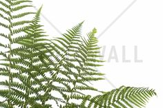 Ferns - Wall Mural & Photo Wallpaper - Photowall