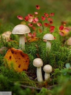 Mushrooms in Nushpoly, Russia photographed by Irinda