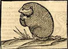 A groundhog; to left; illustration to an unidentified Latin edition of Sebastian Münster, 'Cosmographia', probably printed by Heinrich Petri in Basel, c. 1544-52. British Museum.