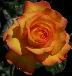 Rotary Sunrise Rose Bush Flower Seeds by Treasures By Lee. $3.25. Each purchase comes with easy planting/growing instructions. Zones: 3-9. Harvested this fall. Seeds are fresh and will keep up to 2 years. Seeds can be started indoors or outside. This pack comes with 5 seeds harvested this fall.  Instructions included.. Save 46%!