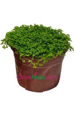 Tangled Flower, Balcony Flowers, Garden Plants, Flower Designs, Vitamins, Succulents, Planter Pots, Herbs, Botany