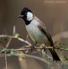 White Eared Bulbul (Pycnonotus leucotis) India, Afghanistan, Iraq, Pakistan