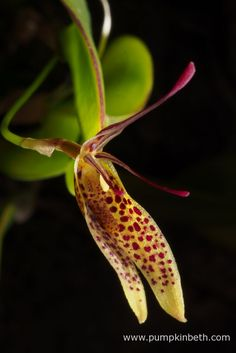 Restrepia citrina - Pumpkin Beth Miniature Orchids, Bottle Garden, Terrariums, Flower Petals, Yellow Flowers, Beautiful Flowers, Exotic, Bloom, Gardens
