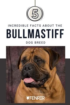 If you're thinking about getting a Bullmastiff, check out these 5 incredible facts and learn more about this amazing breed at Fenrir Canine Leaders. Best Guard Dog Breeds, Best Guard Dogs, Giant Dog Breeds, Giant Dogs, Large Dog Breeds, Large Dogs, Bull Mastiff Dogs, Mastiff Dog Breeds, Best Dogs For Families