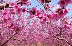 En Ibiza estamos ya rodeados de la preciosa flor del almendro, con esta bonita imagen os deseamos a todos un feliz domingo ¡lleno de sol y flores!