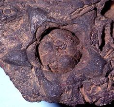 Fossil rosid flower (Celastrales, Rosanae) collected by Professor David L. Dilcher from the Lower Cretaceous Dakota Formation of North America. The image was captured in 1981 while the author was visiting Indiana University.