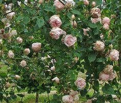 Souvenir de la Malmaison-Josephine's garden at Malmaison.