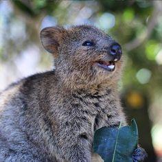💙Quokka One Of The Sweetest Australian Animals Happy Animals, Cute Funny Animals, Funny Animal Pictures, Cute Baby Animals, Animals And Pets, Quokka Baby, Perth, Brisbane, Australian Animals