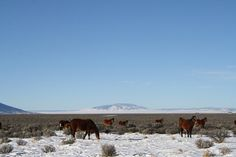 Wild Mustangs in Southern Colorado