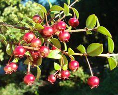 Chilean Guavas (Ugni molinae)