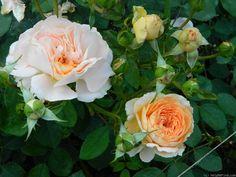 'Sangerhausen Jubilee' Rose Photo
