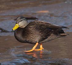Canard noir - Bioparc