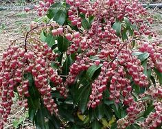 Valley Valentine Andromeda plant. Since Japanese andromeda grows well in sun or partly shaded locations on acidic soil, It's a good match with rhododendron, azalea,  shrubs.