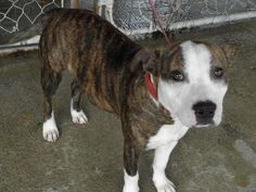 URGENT* Tiger* Staffordshire Bull Terrier • Young • Male • Medium Monroe County Dog Pound Woodsfield, OH, Please contact the Dog Warden by phone for quickest response! 1 yr old