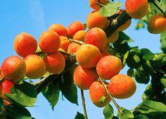 meruňka Apricot Tree, Buy Plants, Orange Fruit, Hardy Plants, Plants Online, Order Flowers, Pink Blossom, Prunus, Bulb Flowers