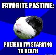 I am babysitting guinea pigs this summer and they make me feel guilty for not feeding them every 2 hours.