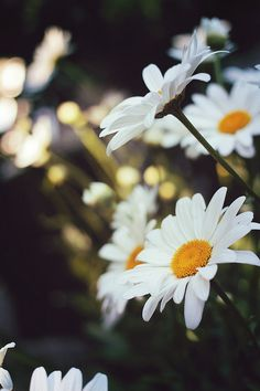 flowers, daisy, and nature image Happy Flowers, Wild Flowers, Beautiful Flowers, Flora Flowers, Flowers Garden, White Photography, Nature Photography, Rivers And Roads, Sunflowers And Daisies