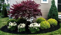Japanese Maple with white Astilbe