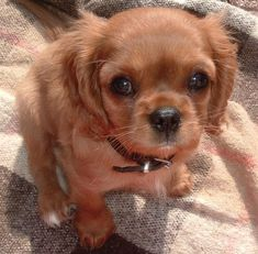 cavalier dogs | Belle the Cavalier King Charles | Puppies | Daily Puppy