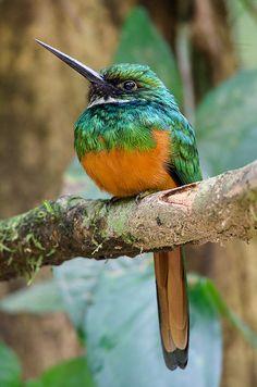 Rufous-tailed Jacamar: S.Mexico, Cent.Am. and S.America as far south as S.Brazil & Ecuador