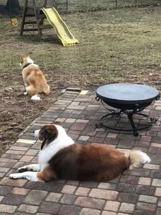 Scottish Collie Misha guards the property with his friend. Scotch Collie, Rough Collie, Livestock, Corgi, Animals, Animales, Animaux, Corgis, Animal