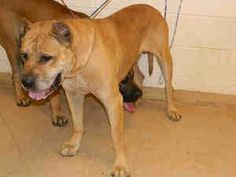 Diesel is an adoptable Presa Canario Dog in Virginia Beach, VA. Diesel is a 5 year old male fawn Presa Canario. He came into rescue with Max in July. He is very loving, does well with dogs. He is a ve...