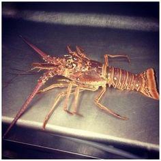 Lobster Merah