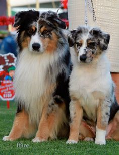 Nuthinbutt Aussies - Australian Shepherd dog breeders, Mudgee NSW