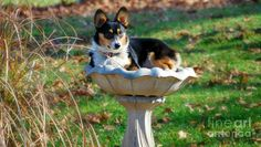 This bath is for the birds. #corgi