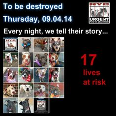 TO BE DESTROYED: 17 Dogs to be euthanized by NYC ACC- THURS. 9/4/14 This is a HIGH KILL shelter group. YOU may be the only hope for these pups! ****PLEASE SHARE EVERYWHERE !To rescue a Death Row Dog, Please read this: http://urgentpetsondeathrow.org/must-read/ To view the full album, please click here: https://www.facebook.com/media/set/?set=a.611290788883804.1073741851.152876678058553&type=3