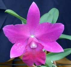 ... Guaria Morada National Flower of Costa Rica