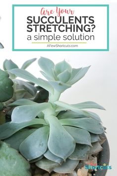 Are your succulents stretching taller and taller? Learn a simple solution to get them back to normal and how to prevent them from stretching again.  #succulents #gardening