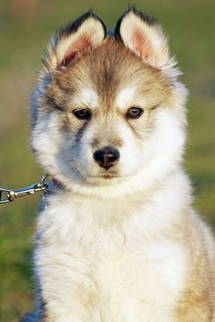 Nahla the husky Animals And Pets, Cute Animals, Finding Neverland, Puppys, Life Inspiration, Rottweiler, Animal Pictures, Husky, Wolf