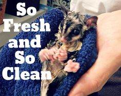 Giving your pet sugarglider a bath with be quite a funny time. You also need to clean the cage on a weekly basis.