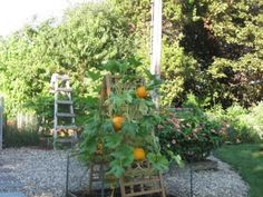 Growing pumpkins on a trellis? Why not? :)