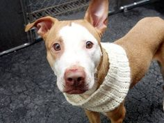 RIP BRENDA!!!!! 04/15/14 Manhattan Center   BRENDA - A0995523   FEMALE, BROWN / WHITE, PIT BULL MIX, 3 yrs STRAY - STRAY WAIT, NO HOLD Reason ABANDON  Intake condition NONE Intake Date 04/02/2014, From NY 10460, DueOut Date 04/05/2014,  https://www.facebook.com/photo.php?fbid=782511635095051&set=a.617938651552351.1073741868.152876678058553&type=3&theater