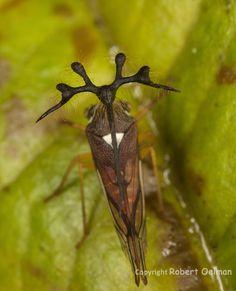 Treehopper, Bocydium (new species).