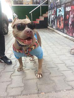 Pitbull use glass.  #pitbull #rednose #gentlemen